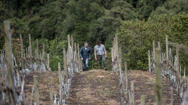 Ces vignes poussent sur les rives du fleuve Puelo, loin de toute civilisation et entourées de moutons.
