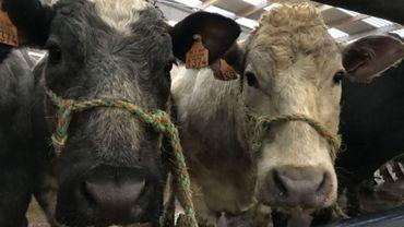 Le marché aux bestiaux de Ciney est une véritable institution dans le monde de l'élevage.