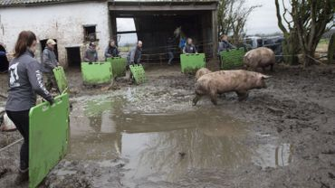 La soixantaine d'animaux de ferme étaient concentrés dans un périmètre trop restreint.  Ici, lors de leur évacuation, on peut se rendre compte de l'indescriptible gadoue dans laquelle ils évoluaient