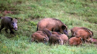 Selon ces associations, la surpopulation de sangliers démontre que certains chasseurs ne régulent la faune sauvage qu'en fonction de leurs propres intérêts