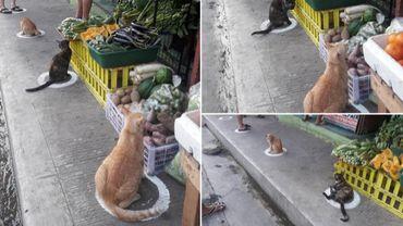 Coronavirus au Philippines: les chats adorent respecter la distanciation sociale