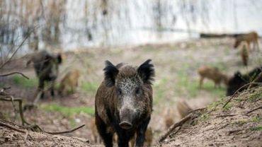 Nourrir les sangliers plutôt que les réguler, pour s'assurer de chasses giboyeuses: une pratique dramatique pour nos forêts.