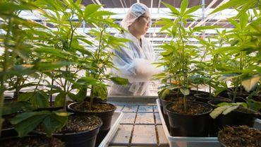 Des plants de cannabis dans une usine de Lincoln (Ontario, est du Canada) le 12 octobre 2018.