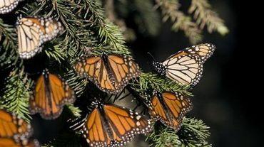 Le 10 décembre 2008, des papillons monarques (Danaus plexippus) dans la forêt sanctuaire de Chincua à Angangueo, dans l'état mexicain de Michoacan