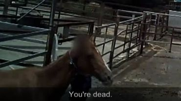 Des milliers de chevaux de course à la retraite abattus: l'enquête qui choque les Australiens