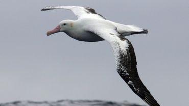 Ocean Sentinel : un programme d'albatros espions