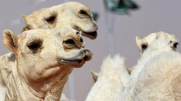 Arabie Saoudite : 12 chameaux botoxés disqualifiés d'un concours de beauté