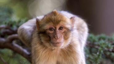 France: 150 macaques euthanasiés après la fermeture d'un parc animalier