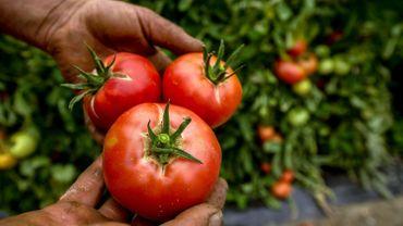 Production de tomates en hausse de 15 à 20%: des tomates belges partent vers le sud de l'Europe