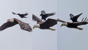 Un cordbeau se pose sur le dos d'un aigle en plein vol, normal quoi...