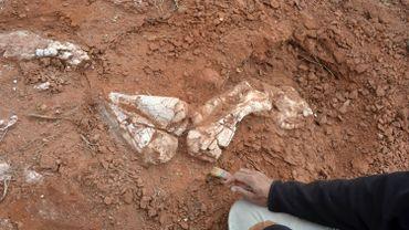 Les chercheurs ont trouvé des vertèbres du cou et de la queue, des os des pattes avant et une partie des os des pattes arrières.