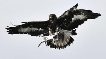 Un aigle intercepteur de drones