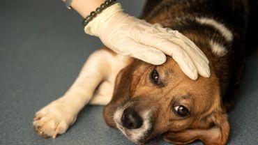 Norvège : 200 chiens frappés d'une mystérieuse maladie parfois mortelle