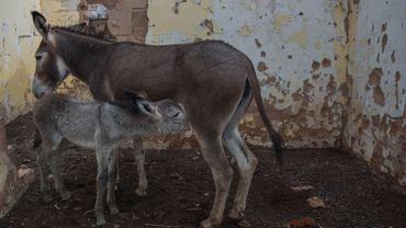 Devant l'ampleur du trafic, le gouvernement du Botswana a interdit en juin les exportations d'ânes et de leurs produits dérivés.