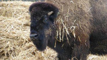 Les bisons de Jean-Marie Dellier