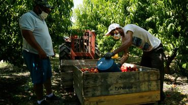 Des saisonniers bulgares cueillent des nectarines dans un verger à Fraga à l'ouest de Barcelone, le 25 juin 2020