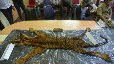 La police a exposé une peau de tigre, des dents et des os confisqués auprès des suspects de braconnage.