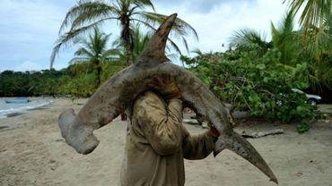 Un pêcheur et un requin-marteau sur la plage de Manzanillo, au Costa Rica, le 3 avril 2011.