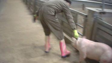 Animal Rights dénonce la matraitance des porcs à l'abattoir de Tielt