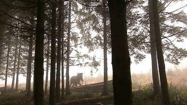 Du débardage  en forêt avec un cheval de trait !