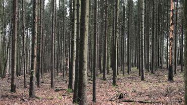 La chaleur et la sécheresse de 2018 ont entraîné une pullulation des scolytes dans les forêts.