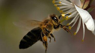 Le Tribunal de l'Union européenne a confirmé les restrictions d'utilisation imposées en 2013 à trois néonicotinoïdes, des insecticides considérés comme nocifs pour les abeilles, qui étaient contestées par les fabricants Bayer et Syngenta