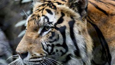 Les animaux populaires comme ce tigre du Bengale photographié dans un zoo de Medellin, en Colombie, sont omniprésents dans notre imaginaire mais sont en fait menacés d'extinction.