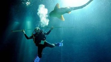 Lors d'une étude sur les requins un plongeur tente de les mesurer dans un aquarium de Hambourg en Allemagne, le 29 décembre 2010.