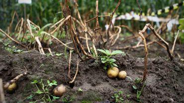 Des pommes de terre génétiquement modifiées, cultivées en Flandre. Photo prise le 26 août 2011 à Wetteren.