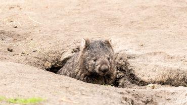 Les wombats partageraient leurs terriers avec des animaux déplacés par les feux de brousse