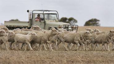Des moutons se sont suicidés après avoir ingéré une plante toxique (illustration)