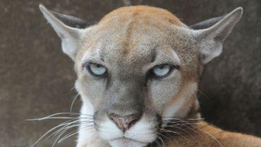 Le cougar est une espèce officiellement disparue, d'autres sont en grand danger