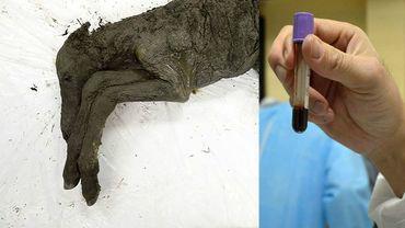 Du sang liquide retrouvé dans un poulain préhistorique de 42.000 ans