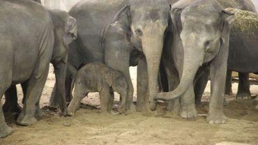 Le bébé éléphant avec ses aînés