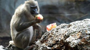 Un babouin au zoo de Valence en Espagne, le 23 juillet 2016