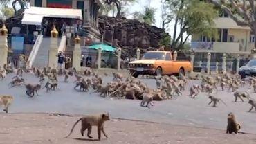 Des milliers de singes s'affrontent dans une guerre tribale dans une ville thaïlandaise (vidéo)