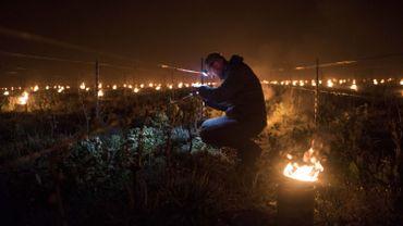 Le gel fait des ravages dans les vignes en France : un tiers de la production viticole perdue, au moins 2 milliards d'euros de pertes