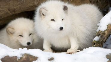 Le renard polaire, aussi appelé renard bleu, est protégé en Suède, depuis 1928 , en Norvège depuis 1930 et en Finlande depuis 1940