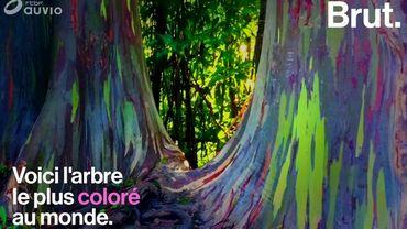 Voici à quoi ressemble l'arbre le plus coloré au monde