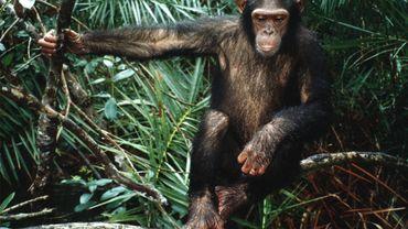 Photo en novembre 1997 d'un chimpanzé dans la forêt de Conkouati au Congo. Sur l'île de Rubondo en Tanzanie, dix-sept chimpanzés issus de captivité relâchés dans les années 1960, ont montré depuis une étonnante capacité d'adaptation de l'espèce en milieu inconnu.