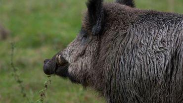La ville de Namur a décidé d'autoriser la chasse aux sangliers sur certaines parcelles.