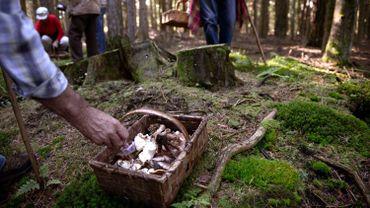 Cueillette des champignons: règlements indigestes en Forêt de Soignes