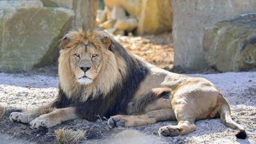 Un Tchèque tué par un lion qu'il élevait sans autorisation