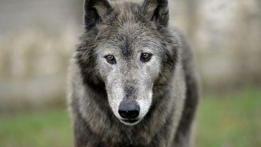 """Le loup, comme d'autres animaux prédateurs, peut """"manifester une familiarisation envers les humains"""""""