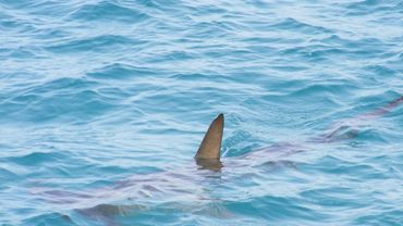 Hong Kong: saisie record de 26 tonnes d'ailerons de requins