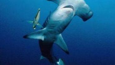 Accord international pour protéger quatre espèces de requins menacées