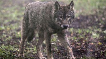 Un loup tue quatre brebis à Burg-Reuland, en province de Liège