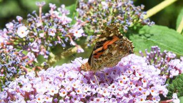Laisser plus de fleurs au jardin permet aux papillons de proliférer.