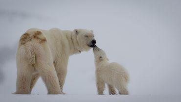 Un photographe animalier alerte le monde sur la chasse des ours blancs