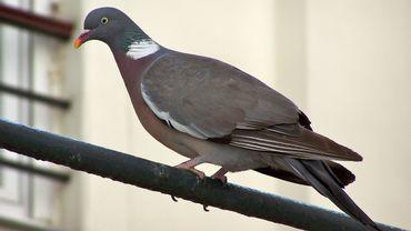 Le pigeon ramier (Columba palumbus) ou palombe est la plus grande et la plus commune des espèces de pigeons européens.